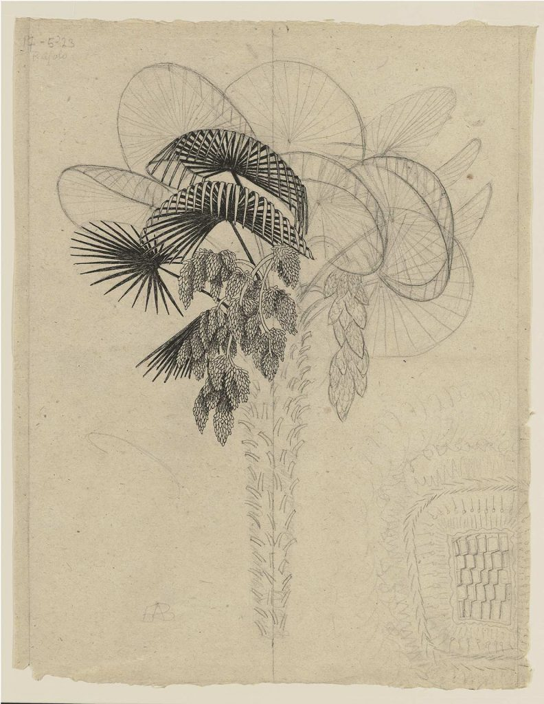 M.C. Escher, Study for Palm Tree, 17 May 1923b